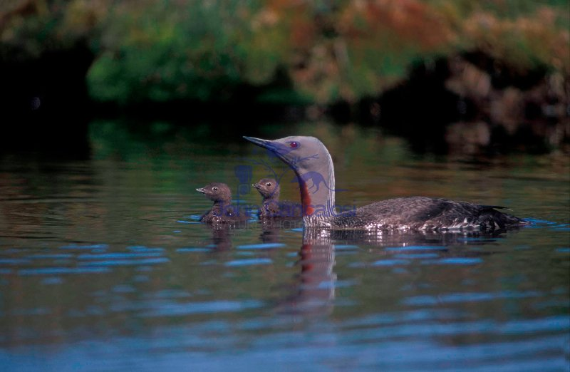 Red-throated Diver with Young (Gavia stellata) - UK