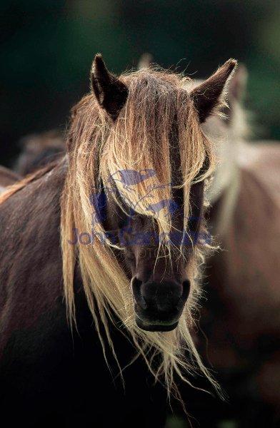 Rum Pony -  Isle of Rum - Scottland