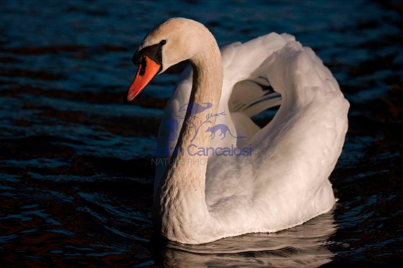 Mute Swan (Cyngus olor) - UK-Aggressive Display