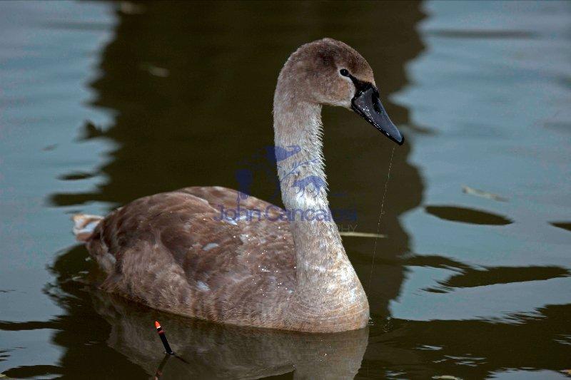 Mute Swan (Cyngus olor) - UK- Immature