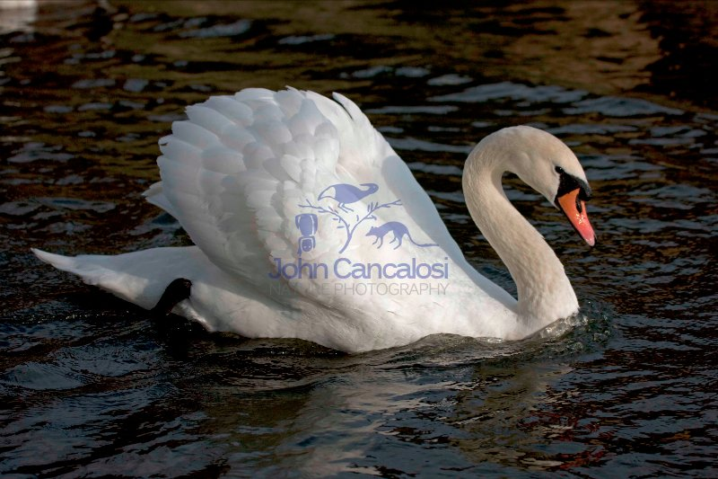 Mute Swan (Cyngus olor) - UK - Showing busking display