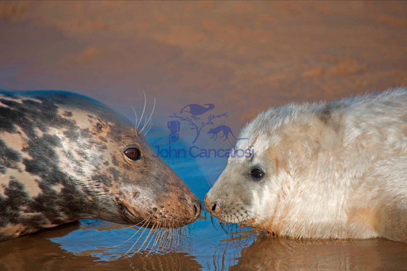 Grey Seal (Halichoerus grypus) - UK - Mother and Pup