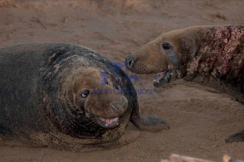 Grey Seal (Halichoerus grypus) - Two males fighting - UK