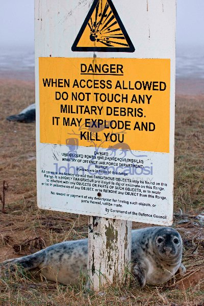 Grey Seal (Halichoerus grypus) - Pup on RAF Bombing Range - UK