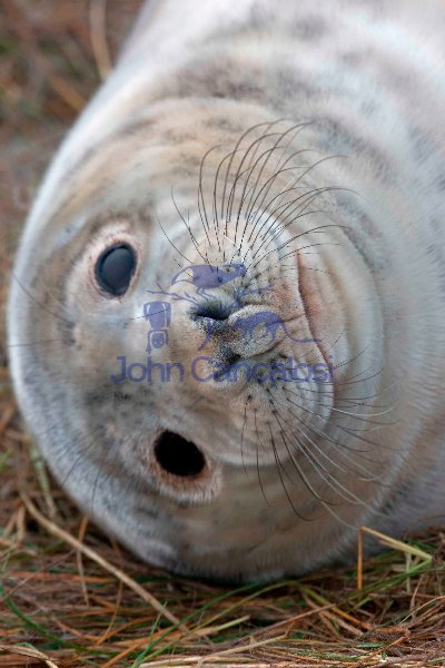 Grey Seal (Halichoerus grypus) - Pup - UK