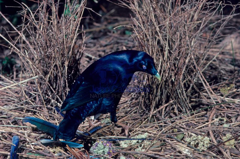 Satin Bowerbird (Ptilonorhynchus violaceus) - Male - Australia