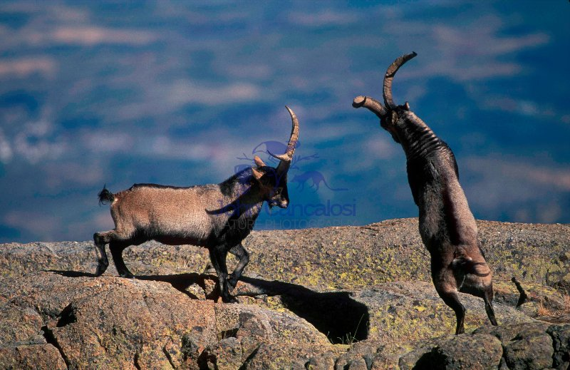 Spanish Ibex (Capra pyrenaica) - Spain -Males in rut fighting