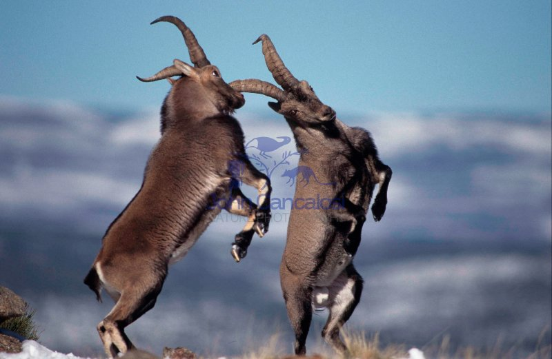 Spanish Ibex (Capra pyrenaica) Males Fighting - Spain