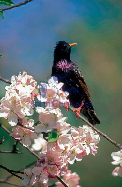 Starling (Sturnus vulgaris) - England