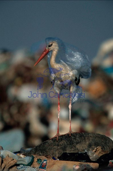 European White Stork (Ciconia ciconia) Trapped in Plastic Bag in