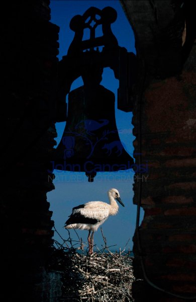European White Stork (Ciconia ciconia) - On Nest in Church Tower