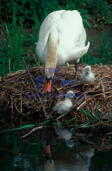 Mute Swan Mother and Young on Nest (Cyngus olor) - France