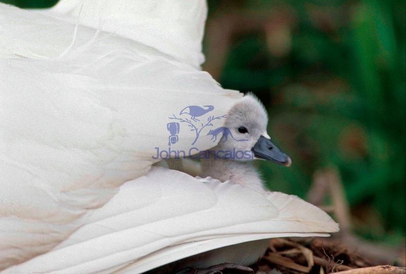 Mute Swan (Cyngus olor) - UK