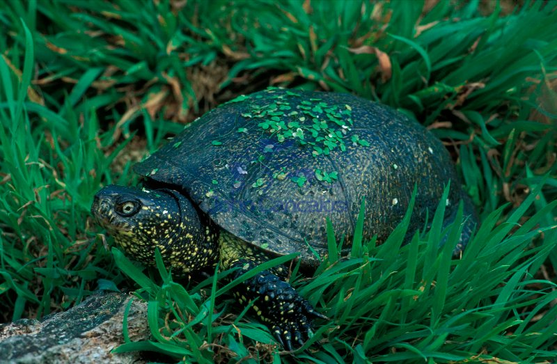 European Pond Terrapin (Emys orbicularis) - Western Europe