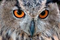 Eagle Owl (Bubo bubo) - Europe