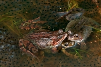 European Common Frogs - (Rana temporaria) - UK