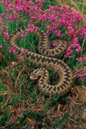 Adder (Vipera berus)  In heather - UK