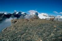 Alpine Ibex Group (Capa ibex) - Switzerland