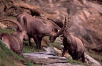 Alpine Ibex (Capa ibex) - Switzerland