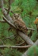 Boreal Owl (Aegolius funereus) - Spain