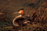 Great Crested Grebe (Podiceps cristatus) - Spain