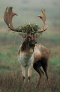 Fallow Deer Dama dama) - UK - Male in rut - On Lek