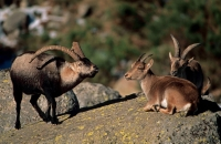 Spanish Ibex (Capra pyrenaica) - Male Courting Female - Spain