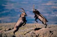 Spanish Ibex (Capra pyrenaica) Males Fighting - Spain