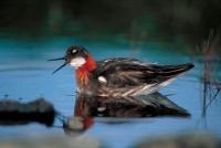 Red-necked Phalarope (Phalaropus fulicarius) - UK