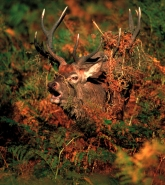 Red Deer (Cervus elaphus) - UK