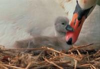 Mute Swan (Cyngus olor) - France