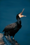 Cormorant (Phalacrocorax carbo) - UK