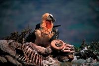 Bearded Vulture or Lammergeier (Gypaetus barbatus) - Spain