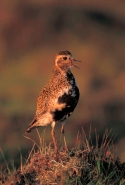 Golden Plover (Pluvialis apricaria) - UK