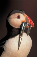 Atlantic Puffin (Fratercula arctica)- UK - With sand eels