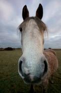 Arab Horse - Equus caballus - UK