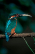 Kingfisher (Alcedo atthis) With fish - England