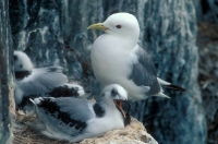 Kittiwake (Rissa tridactyla) and Fledgling at Nest - UK