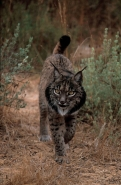 Pardel Lynx or Iberian Lynx (Lynx pardina) - UK
