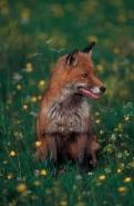 European Red Fox ((Vulpes vulpes) - Spain
