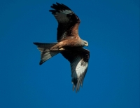 Red Kite (Milvus milvus) - Wales - UK