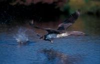 Red-throated Diver Taking Off (Gavia stellata) - UK