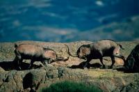 Spanish Ibex (Capra pyrenaica) Males Fighting During Rut - Spain