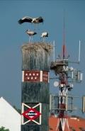 European White Stork (Ciconia ciconia) Nest on Metro Sign - Spai