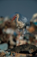 European White Stork (Ciconia ciconia) Trapped in Plastic Bag in