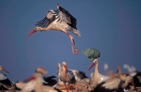 European White Stork (Ciconia ciconia) - In Tip with Bag on leg-