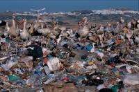 European White Stork (Ciconia ciconia) - At Rubbish Tip - Spain