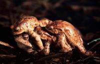 European Common Toads Mating (Bufo bufo) - Hungary