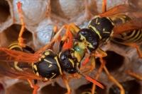 European Paper Wasps-(Polistes dominulus)-New York