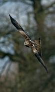 Red Kite (Milvus milvus) - Wales - UK